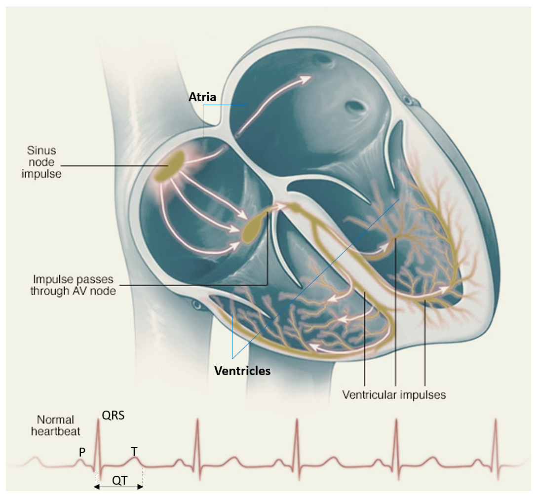 Heart Rhythm and ECG