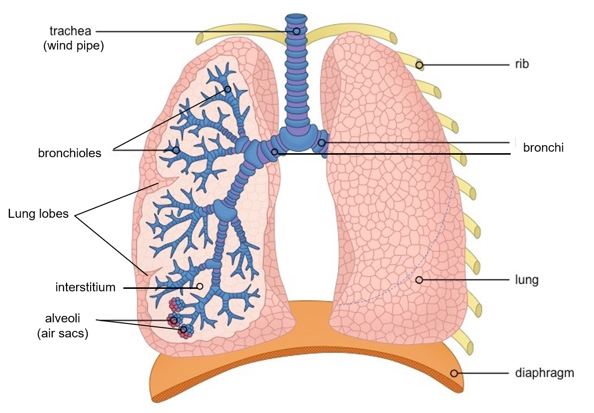 Lung and Airway
