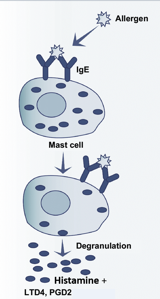 mast cell IgE