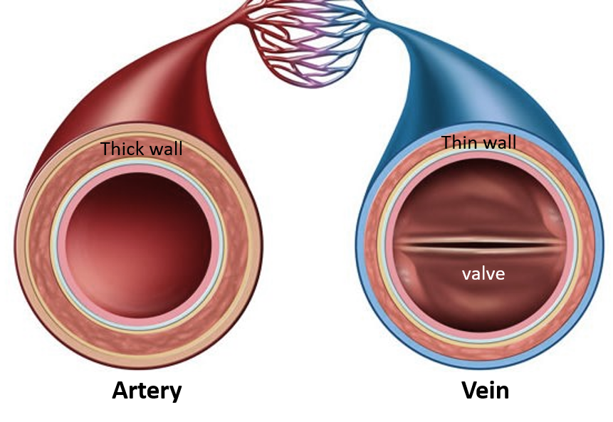artery and vein difference
